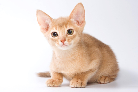 purebreed: Ginger kitten Abyssinian (isolated on white) Stock Photo