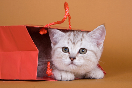 Kitten British cat on a red background Stock Photo