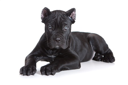 Black puppy Cane Corso (isolated on white)