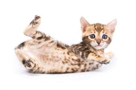 Funny Kitten Bengal cat (isolated on white)