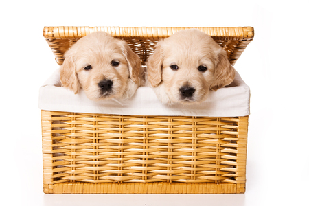 Two labrador puppy in a basket (isolated on white) Stok Fotoğraf