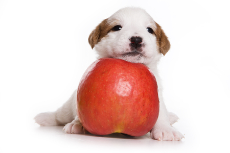 dog isolated: Puppy Dog Jack Russell Terrier and apple (isolated on white) Stock Photo