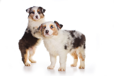 perrito: Two Australian Shepherd puppy (isolated on white)