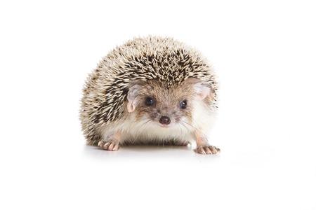 studio shots: Eared hedgehog (isolated on white)
