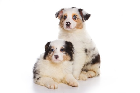 some: Two Australian Shepherd puppy (isolated on white)