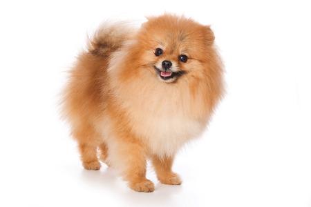 スピッツ子犬 (白で隔離)