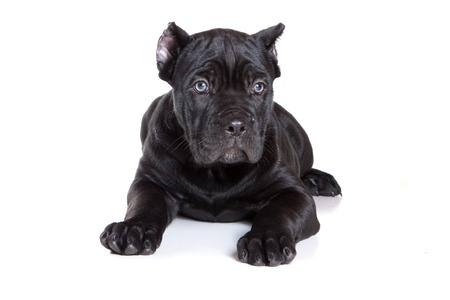 purebreed: Black puppy Cane Corso (isolated on white)