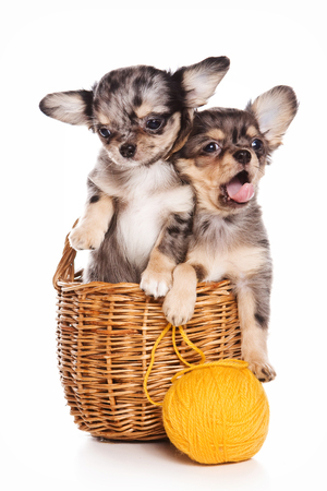Two puppies of a chihuahua dog sitting inside in a basket and a ball of wool (isolated on white)