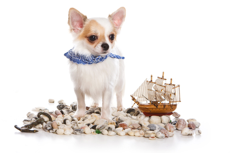 pez vela: Cute Chihuahua dog puppy, stones and ship (isolated on white) Foto de archivo