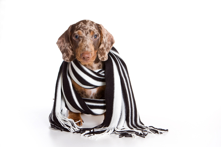 Cute dachshund puppy and striped scarf (isolated on white)