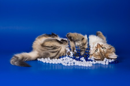 Kitten of the Siberian cat and beads (on a blue background)
