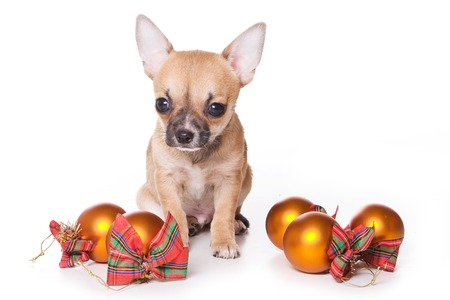 Chihuahua puppy and fur-tree toys for the new year (isolated on white)