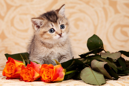 Striped kitten of British cat and orange roses (isolated on white) Stock Photo