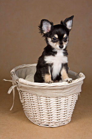 Chihuahua puppy dog inside in a basket on a brown background Stock Photo