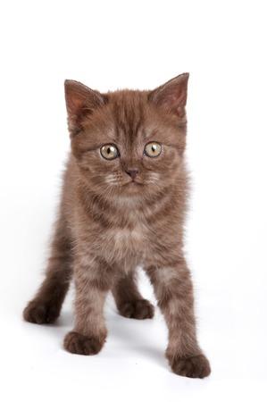 Fluffy kitten British cat (isolated on white) Stock Photo