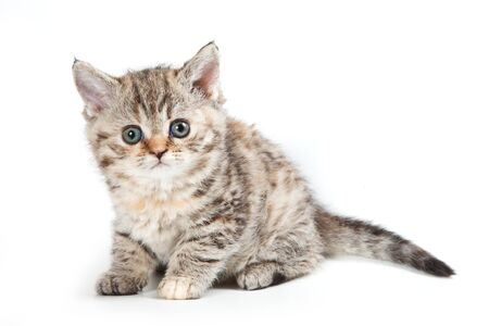 Curly striped kitten selkirk rex cat (isolated on white)