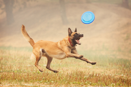 A shepherd dog runs after a frisbee in the field