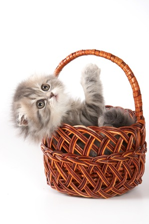spotted fur: Cute kitty Scottish Fold cat sitting in a basket (isolated on white)