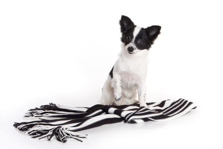 Puppy Chihuahua Dog and Striped Scarf (isolated on white) Stock Photo