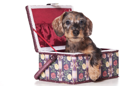 Puppy dog dachshund inside in a box (isolated on white)