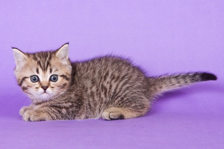 Fluffy tabby kitten of British cat on purple background
