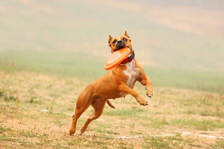 pit fall: A dog Staffordshire Terrier runs after a frisbee in the field Stock Photo