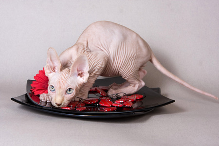 Bald kitten sphinx and red gerbera on a gray background