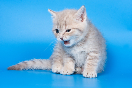 The fluffy kitten of a British cat meows and lickens against a blue background