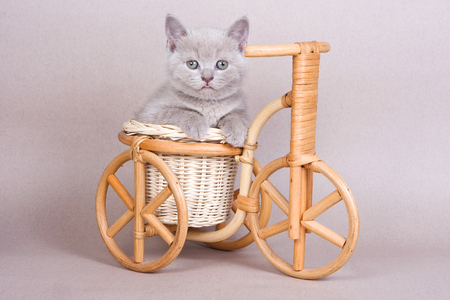 Fluffy British cat cat and bicycle on a gray background