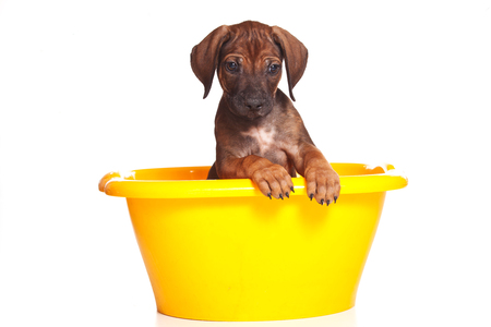 Red-haired puppy Ridgeback dog inside in a yellow basin (isolated on white) Stock Photo