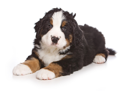 Cute Puppy Bernese Mountain Dog (isolated on white)