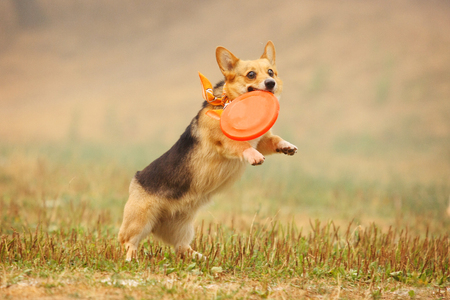 A dog welsh corgi runs after a frisbee in the field Stock Photo