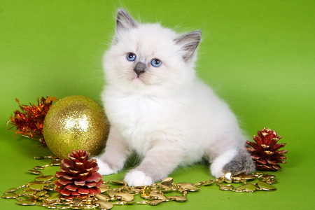 Fluffy kitten of a Neva fancy cat and Christmas decorations for Christmas on a green background