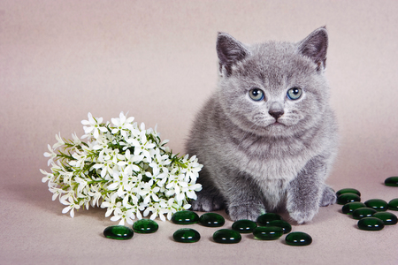 Fluffy kitten of a British cat and white flowers on a gray background