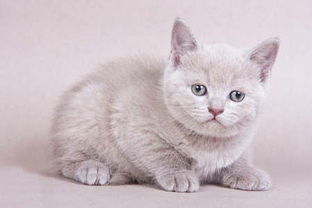 Fluffy kitty British cat on a gray background Stock Photo