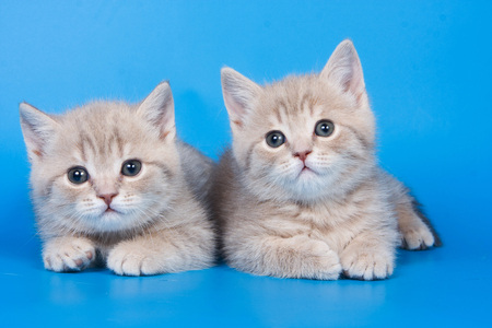 Two fluffy kitten of a British cat on a blue background Stock Photo