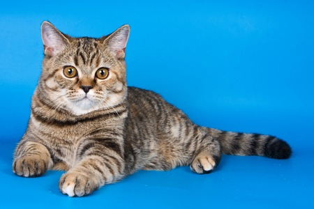 Fluffy kitten of a British cat on a blue background