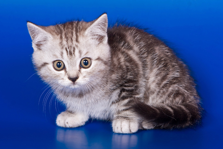 Gray striped kitty british cat on a blue background Stock Photo - 124633259