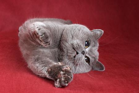 Gray kitty british cat on red background Stock Photo - 124633265
