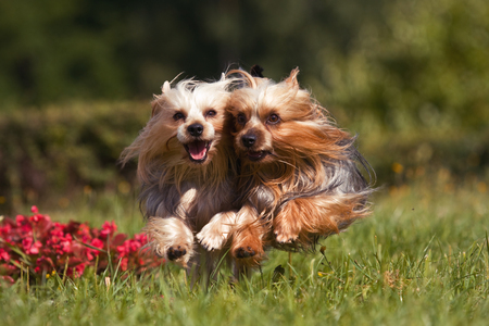Two york dogs running into the camera through the grass Stock Photo