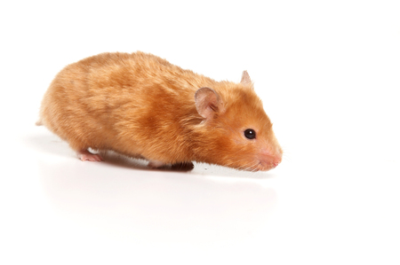 Red hamster (isolated on white) Stock Photo - 124633356
