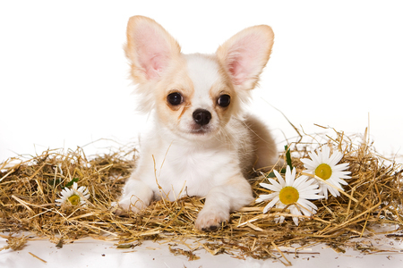 Cute puppy of chihuahua dog on hay and in daisies (isolated on white)