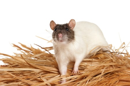 White rat and hay (isolated on white) Stock Photo - 124633359