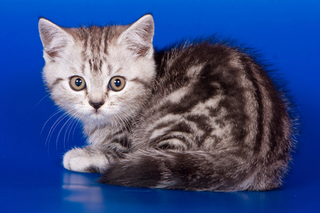 Gray striped kitty british cat on a blue background Stock Photo - 124633361