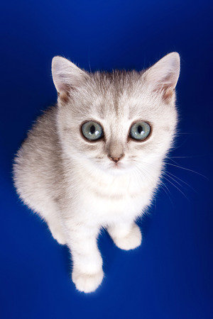 Bright striped kitten with big eyes of a British cat on a blue background.