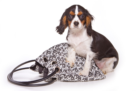 Beagle puppy and bag (isolated on white)