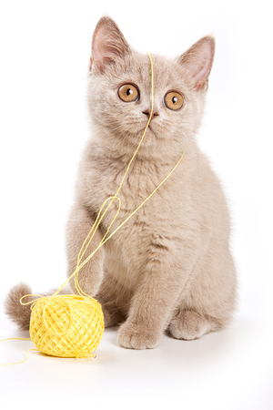 British cat beige kitten with a ball of wool (isolated on white)