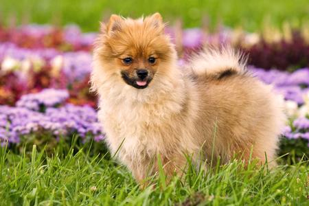 Chien chiot gingembre sur l'herbe en fleurs