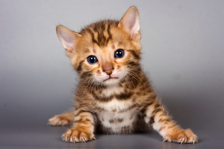 Bengal cat kitten on a gray background Stock Photo - 124633492