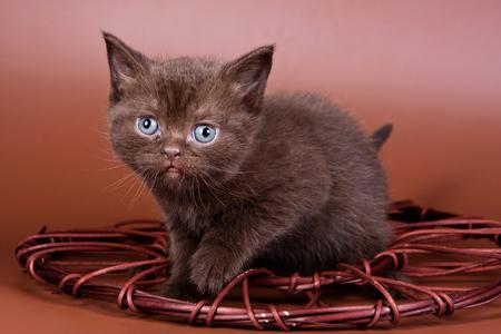 Brown kitten british cat on a brown background